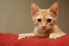 Curious. A small orange kitten peering over the top of a couch Stock Photos