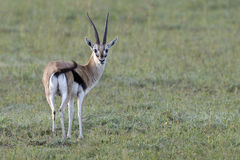 Thomsons Gazelle in Tanzania. Lone Thomsons Gazelle in the Serengeti Stock Image