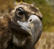 Curious. Bird Brown Vulture is watching with curiosity over the actions of the photographer Stock Photos