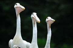 Curious. Three curious pelican is looking to same way Royalty Free Stock Photography