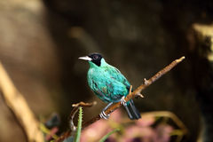 Curious. Green Honeycreeper staring at the camera against a blurred background Royalty Free Stock Photo