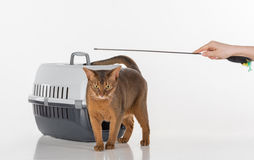 Curious Abyssinian cat, box and female hand with toy. Isolated on white background Royalty Free Stock Images