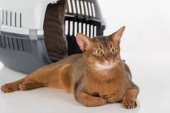 Curious Abyssinian cat and box. Isolated on white background. Curious Abyssinian cat and box stock photography