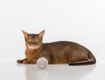 Curious Abyssinian cat lying on the ground and looking to camera. Toy Ball. Isolated on white background Stock Images