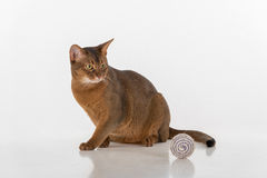 Curious Abyssinian cat sitting on the ground. Toy Ball. Ready to attack. Isolated on white background Royalty Free Stock Images