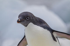 Curious adelie penguin Stock Photos
