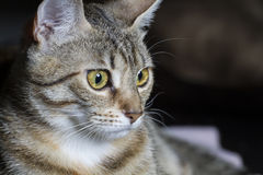 Curious, Adorable common cat hair tabby Royalty Free Stock Photo