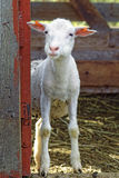 Curious adorable lamb in the farmyard Stock Images