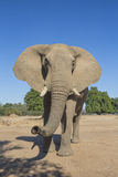 Curious African Elephant Stock Photo