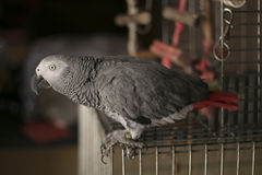 Free Curious African Gray Parrot Royalty Free Stock Photos - 91469468