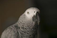 Curious african gray parrot bird Royalty Free Stock Photo