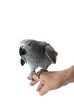 Curious African Grey Parrot. A curious african grey parrot perching on mans hand stock photo