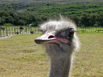 Curious African ostrich close-up Royalty Free Stock Images