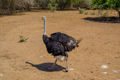 Curious african ostrich walking at the ostrich farm. Royalty Free Stock Image