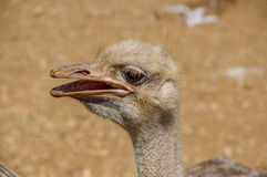 Curious african ostrich walking at the ostrich farm. Royalty Free Stock Photos