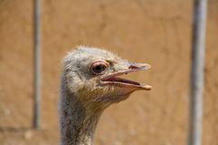 Curious african ostrich walking at the ostrich farm. Stock Images