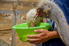 Curious african ostrich walking at the ostrich farm. Stock Photos