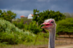 Curious african ostrich walking at the ostrich Royalty Free Stock Image