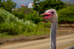 Curious african ostrich walking at the ostrich Royalty Free Stock Photos