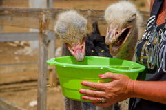 Curious african ostrich walking at the ostrich Royalty Free Stock Photography