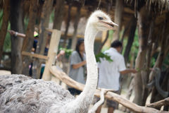 Curious african ostrich walking in the paddock at the ostrich fa Royalty Free Stock Images