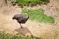 Curious african ostrich walking in the paddock at zoo. Stock Photography