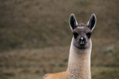 Curious alpaca Royalty Free Stock Photography