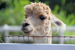 Curious Alpaca Royalty Free Stock Image