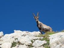 Curious alpine ibex Stock Photos