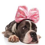 Curious american bully wearing pink ribbon with white dots. Lying on white background and looking to side royalty free stock photography
