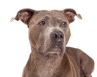 Curious American Staffordshire Terrier Dog Stock Photo
