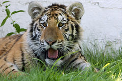 Curious Amur Tiger. Closeup of a curious young cub watching something with interest Royalty Free Stock Photography