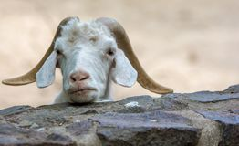 White angora goat with horns looks curiously over a wall royalty free stock photography