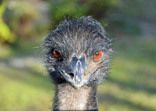 Curious angry bird Emu. Curious angry looking Australian flightless bird, the Emu, staring with its big orange eyes Stock Images