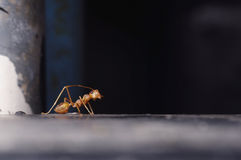 Curious ant Royalty Free Stock Photo
