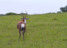 Curious Antelope looking back Royalty Free Stock Photos