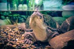 Curious aquarium turtle Royalty Free Stock Photo