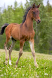 Curious Arabian Colt Royalty Free Stock Photos