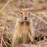 Curious Arctic ground squirrel Urocitellus parryii Stock Photography