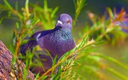 Curious asian pigeon Stock Photography