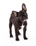 Curious And Attentive French Bulldog Stock Photos