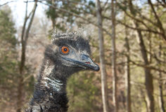 A curious Australian Emu is looking for food. Royalty Free Stock Photography