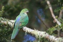 Free Curious Australian King-parrot (Alisterus Scapularis)i, Queensland Australia Royalty Free Stock Photos - 161008358
