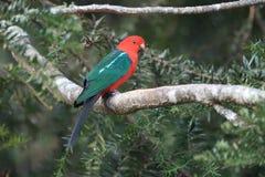Free Curious Australian King-parrot (Alisterus Scapularis)i, Queensland Australia Stock Image - 161008851