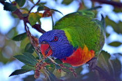 Curious Australian Rainbow Lorikeet. Curious colorful Australian rainbow lorikeet parrot feeding in a tree Stock Images