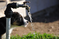 Curious Australian Shepherd aussie puppy. Australian Shepherd puppy stare on water tap with flowing water royalty free stock photo