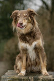 Curious Australian shepherd dog Stock Photo