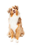 Curious Australian Shepherd Dog Sitting Stock Images