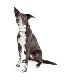 Curious Australian Shepherd Mixed Breed Dog Stock Photo