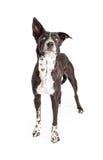 Curious Australian Shepherd Mixed Breed Dog Standing Royalty Free Stock Photos